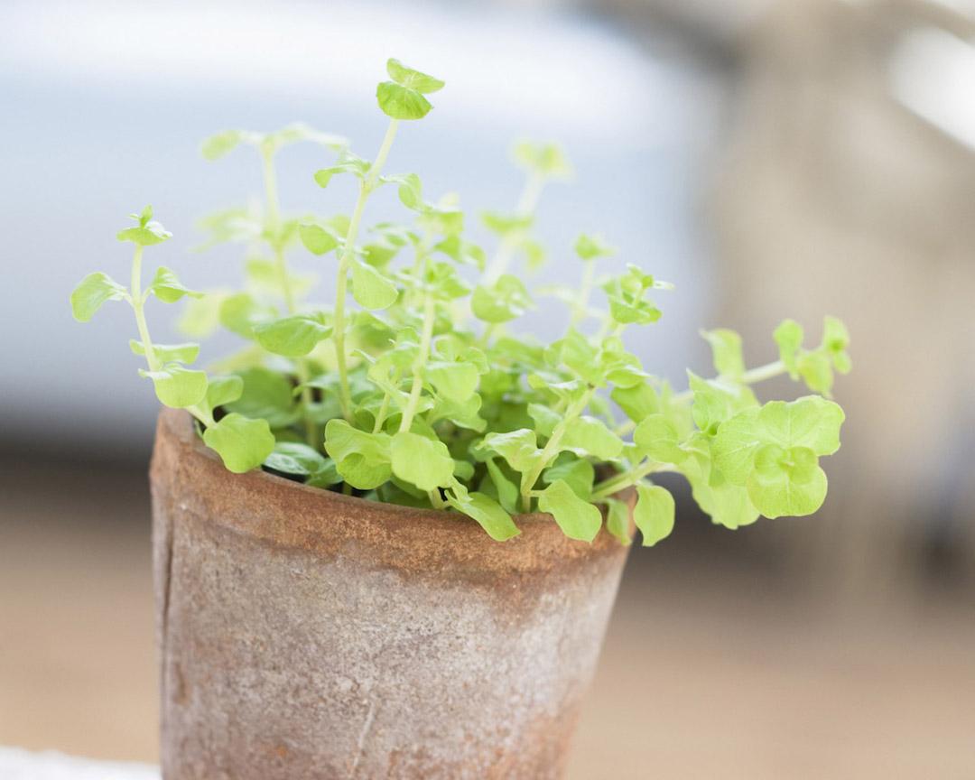 biologische kruiden keukentuin herbs kitchen garden
