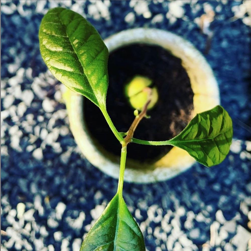 avocadopit groeit uit tot plant