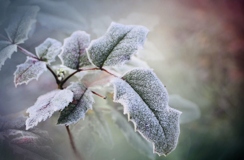 kerst hulstblad vorst winter