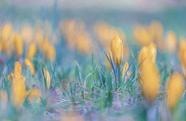 voorjaar, krokussen, weekend