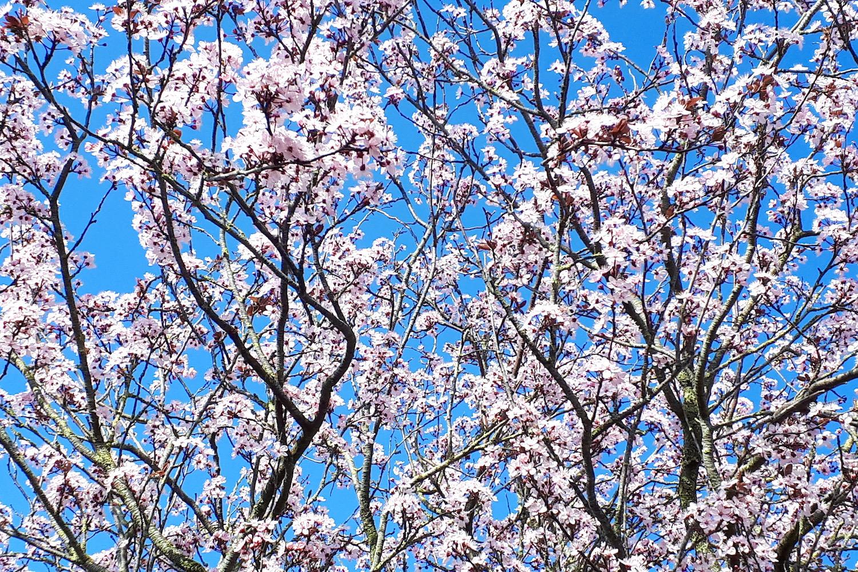 voorjaar kersenbloesem blauwe lucht weekend