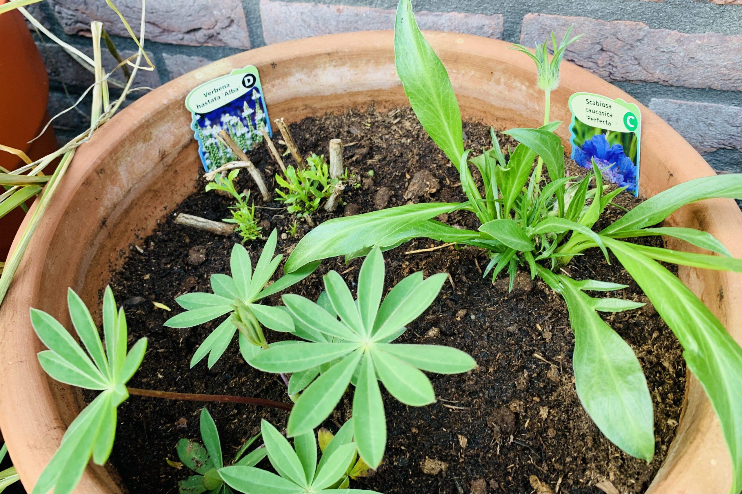 nieuwe planten pottenborder mei 2021