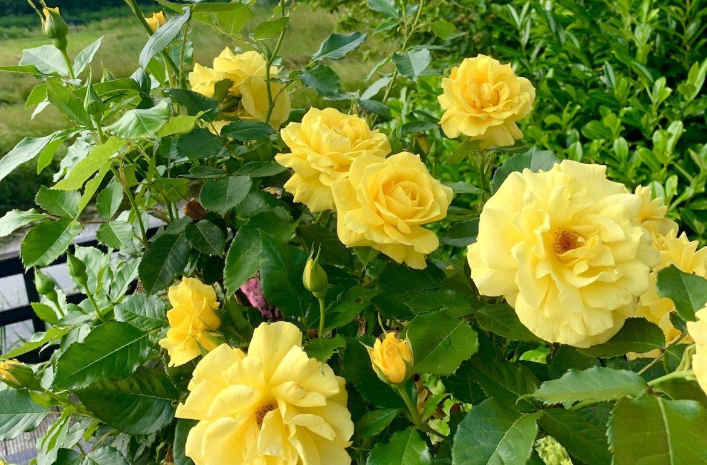 gele roos zomerfavorieten