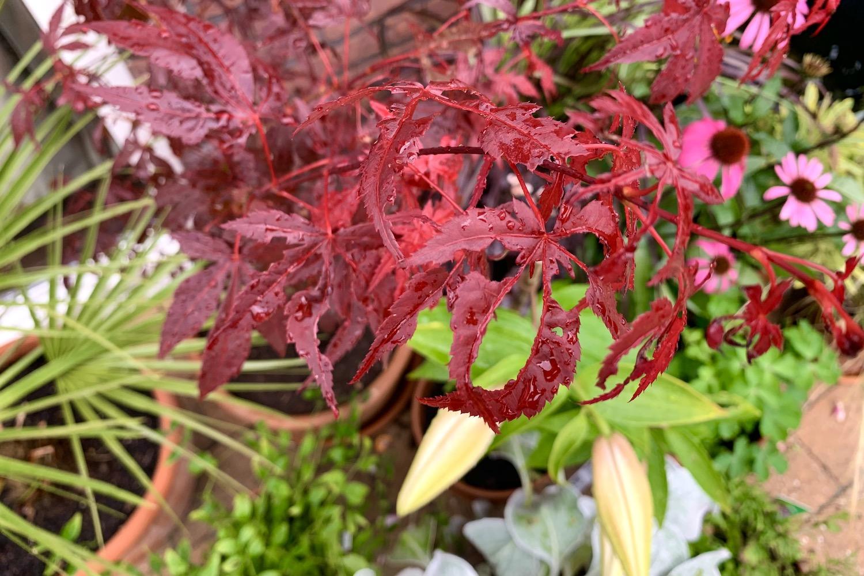 in de tuin - acer close-up