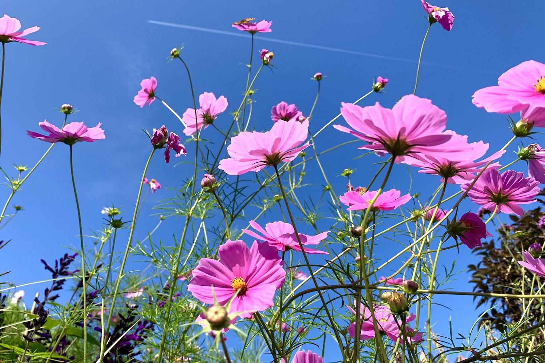 cosmea blauwe lucht weekend